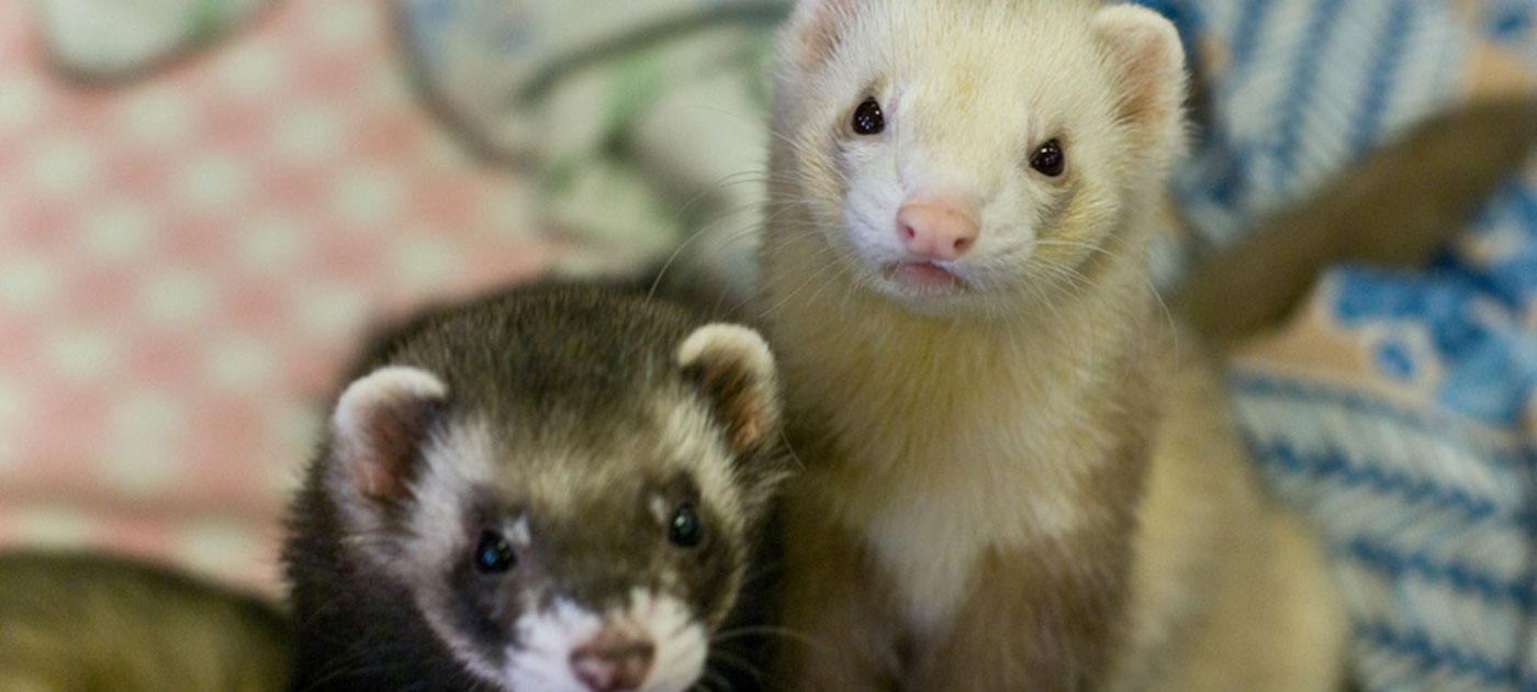 ferrets of amazing grace