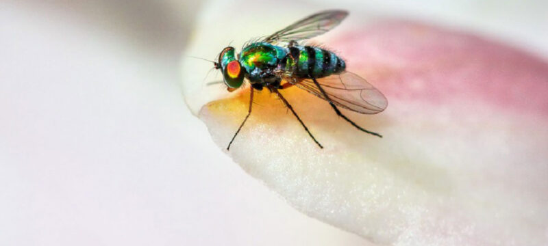Listen up! Fruit Flies Key to Hearing Loss Research