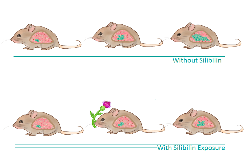 Silibinin in Mice